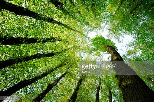 Surrounded by Oak and Lime Trees, low angle shot : Stock Photo