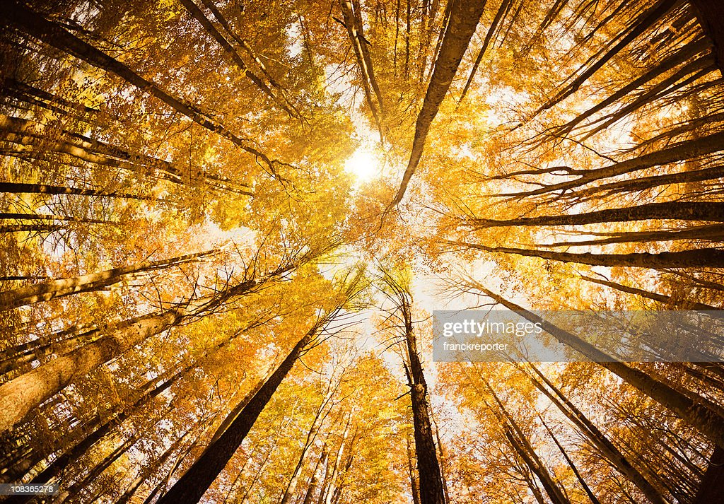 Surrounded by Tall Trees, low angle shot - Autumn season : Stock Photo