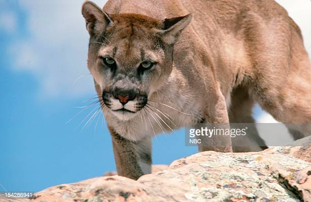 ADAMS 'Survival' Episode 2 Pictured Mountain lion