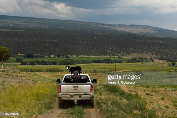 Susan Nottingham drives her truck through her land while her faithful border collie Izzy rides on top of an ATV in the bed of the truck at her ranch...