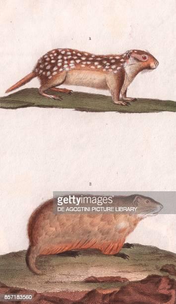 1 Suslik 2 Marmots colour copper engraving retouched in watercolour 9x15 cm from Dizionario delle scienze naturali compilato da vari professori del...