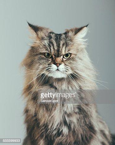 Retrato de gato sospechosa