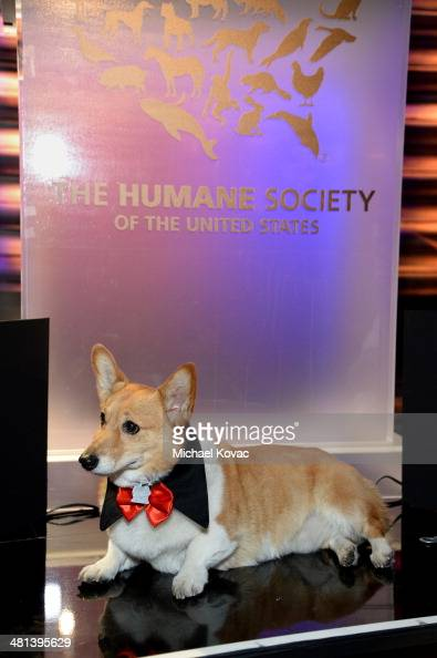 Sutter the First dog of California attends the Humane Society of The United States 60th Anniversary Gala at The Beverly Hilton Hotel on March 29 2014...