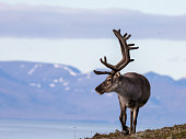 Svalbard reindeer male with antlers walking on the tundra in Bjorndalen with mountains in the background, Longyearbyen Svalbard,