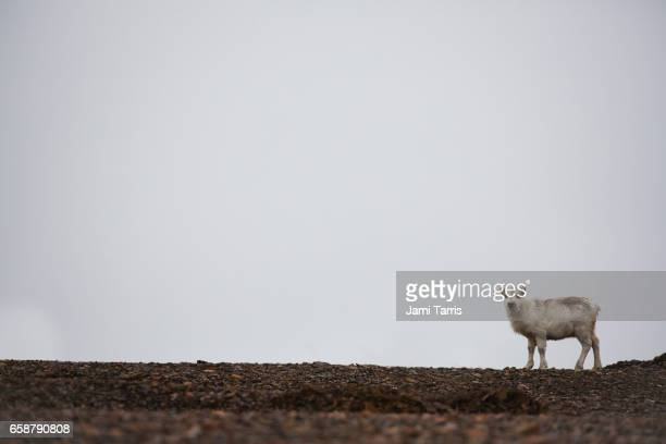Svalbard reindeer sub-adult standing a crest of hill