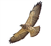 Swainson's Hawk close-up and overhead with a clipping path