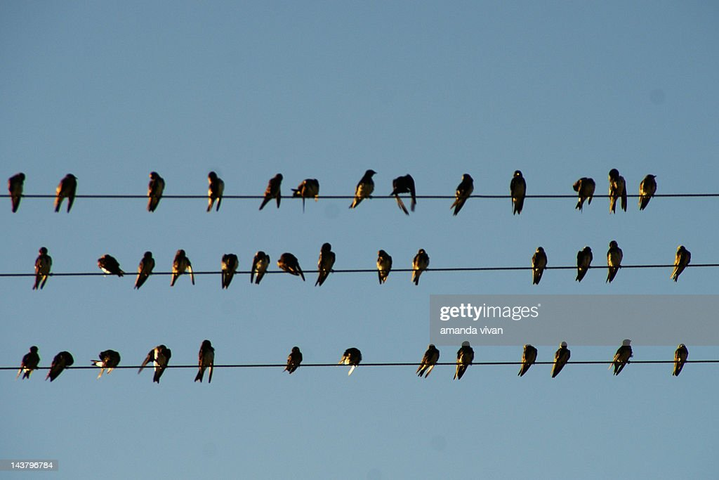 Swallow birds on wire : Stock Photo