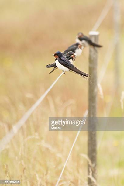 4 swallow birds sitting on fence