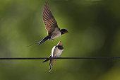 Swallow (Hirundo rustica) feeding young. Loch Awe. Argyll. Scotland, UK
