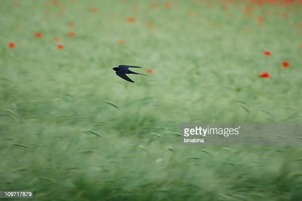 Swallow Flying Fast Over Field with Flowers