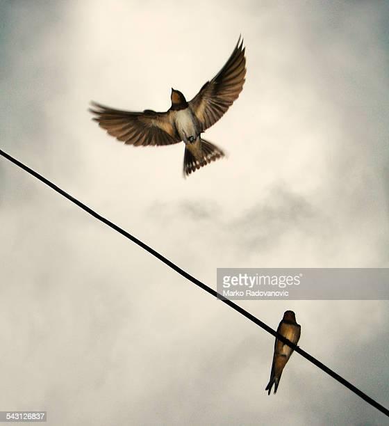 Swallow in flight with wings wide open