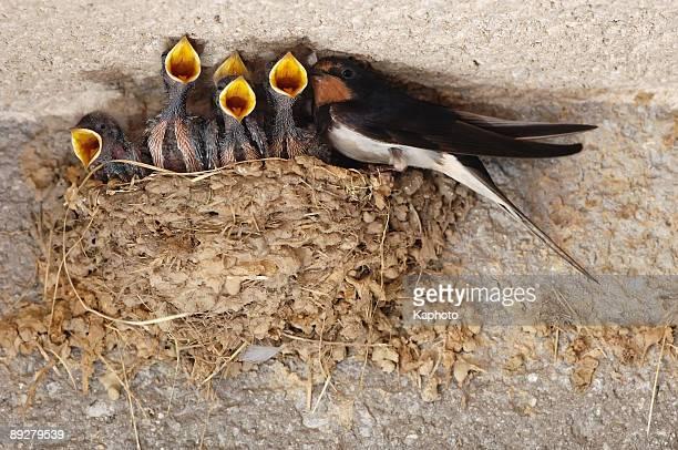 Swallow nestings