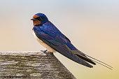 Swallow ,Minsmere,Suffolk