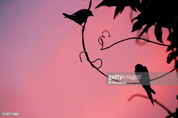 Swallow silhouette on branches at sunset