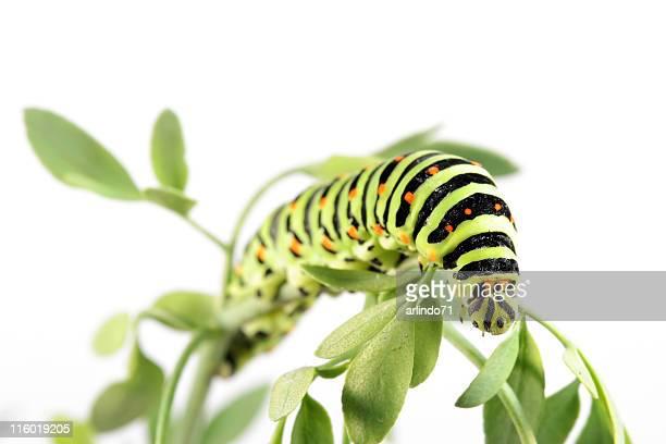 Swallow tail butterfly caterpillar 08
