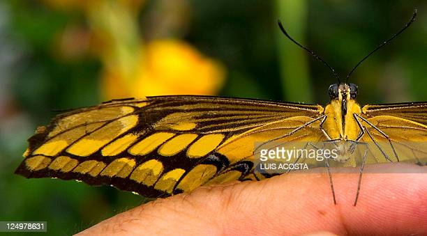 A Swallow Wings butterfly lands on the Finger of a man at the Botanic Garden Jose Celestino Mutis during an exhibition in Bogota on September 14 2011...