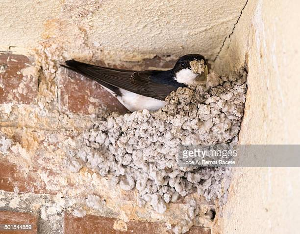 Swallow with mud in its beak building a nest
