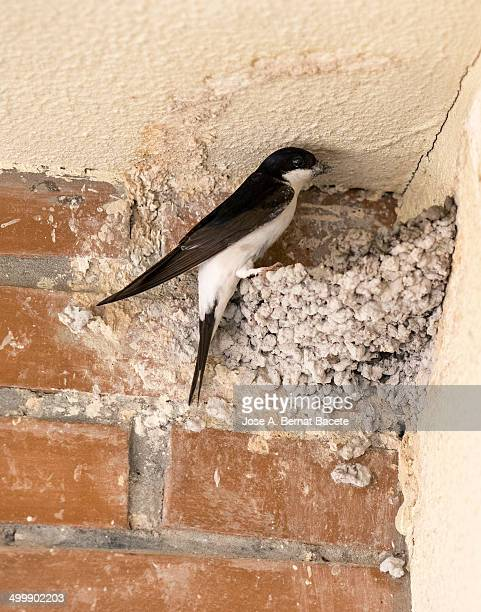 Swallow with mud in the peak building their nest