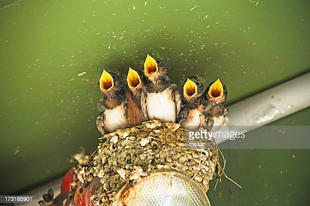 Swallows choir