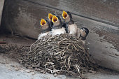 Five swallows in nest waiting for food