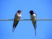 Two swallows.