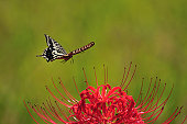 Swallowtail Butterfly flying near flower, Chiba Prefecture, Honshu, Japan