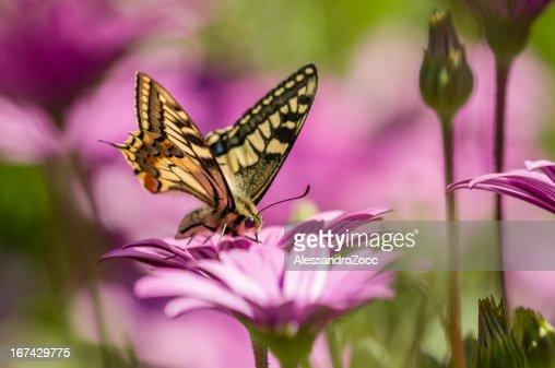 Farfalla a coda di rondine in un campo di margherite viola : Foto stock