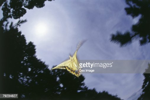 Swallowtail Butterfly in flight, flapping wings : Stock Photo
