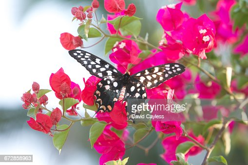 Swallowtail Butterfly on pink Bouganvillea