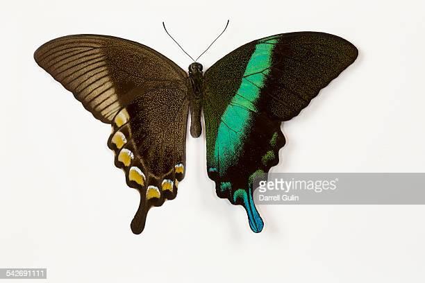 Swallowtail Butterfly Papilio blumei
