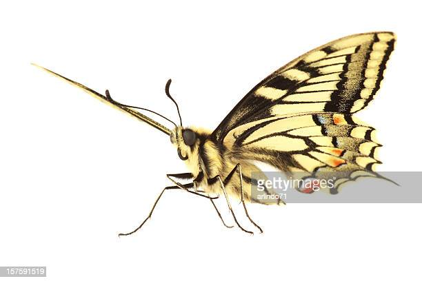 Swallowtail Butterfly (XXXL)