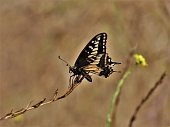 Swallow-Tail Butterfly, Hollywood Hills