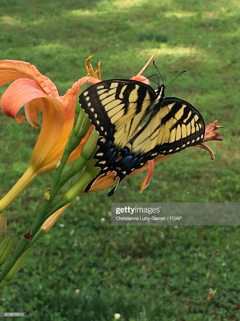 swallowtail butterfly with flower stock photo getty images