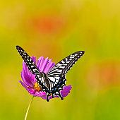 swallowtail on cosmos