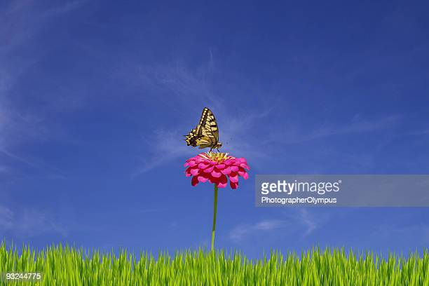 Papilio Glaucus XXL em