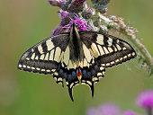 Swallowtail Papilio machaon