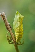 Swallowtail Papilio machaon puppa Gotland Sweden