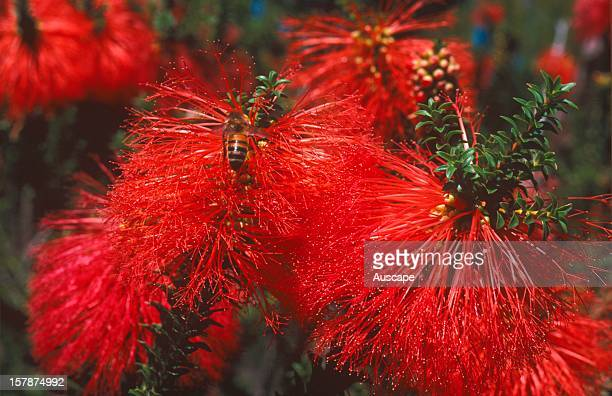 Swamp bottlebrush Margaret River Western Australia