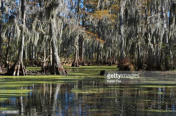 Swamp near New Orleans, Louisiana, USA