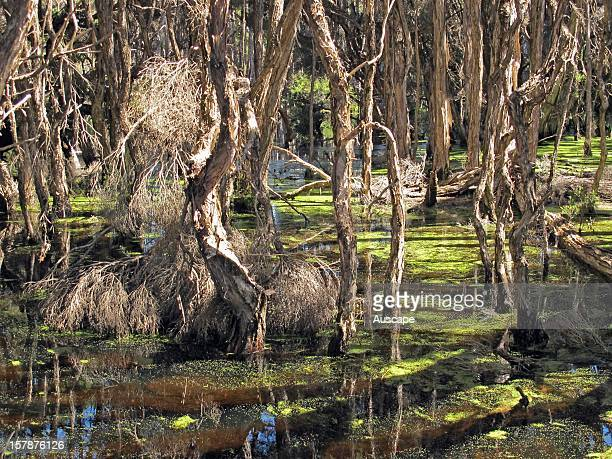 Swamp paperbarks in a coastal freshwater lagoon after a wet winter Bakers Beach near Devonport Tasmania Australia