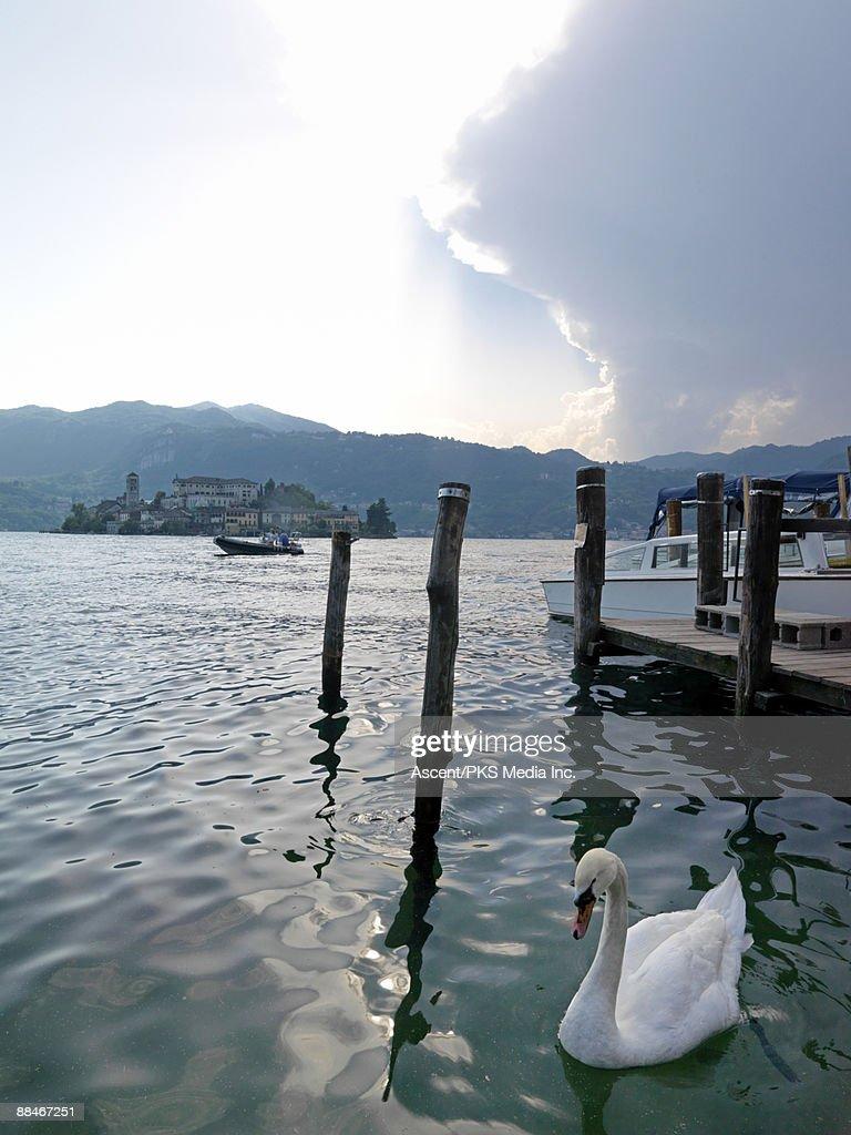 Swan amidst boat piers, Lake Orta : Stock Photo