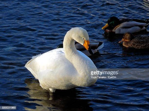 Swan And Ducks Floating On Lake