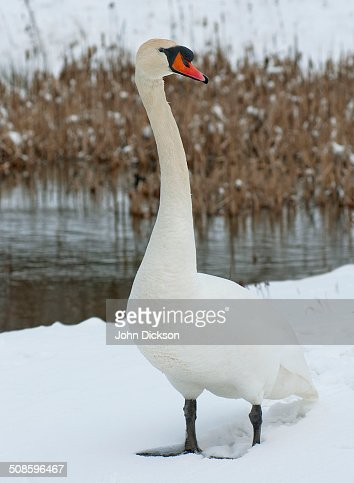 Swan and snow : Stock Photo