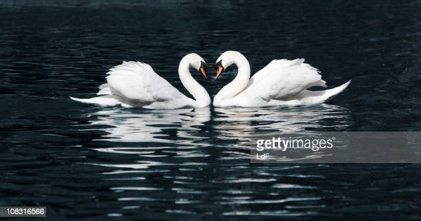 Swan dance in a lake
