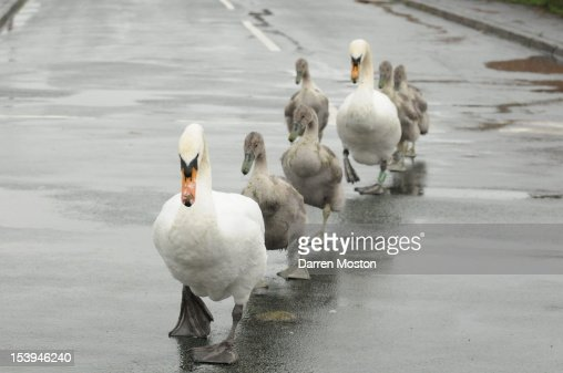 Swan Family crossing the road : Stock Photo