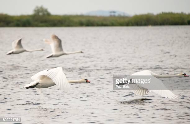 Swan Flying Over Lake, Danube Delta, Romania
