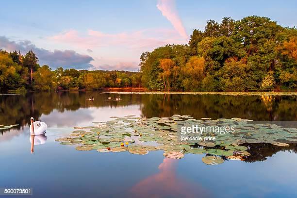 Swan, Horseshoe Bend, River Wye, Letton, Hereford