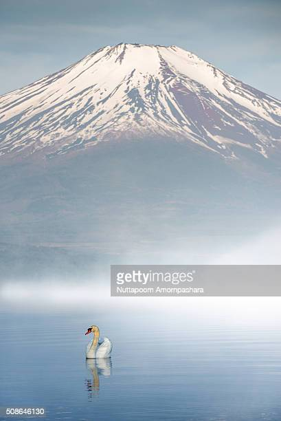 Swan in a lake with mt.fuji behind