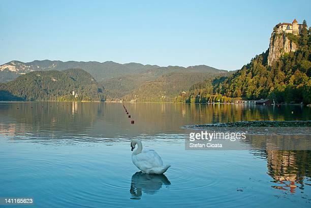 Swan in Bled Lake