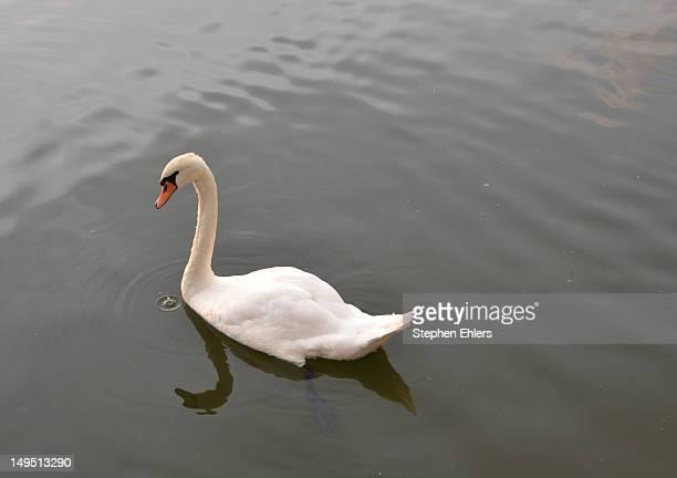 Swan in Main River